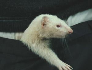 Harry Potter and the Goblet of Fire: Gratuitous ferret picture. Draco never looked better.